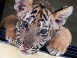 Тигренка сироту привезут в Приморскую сельхозакадемию Уссурийска