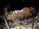 Во Владивостоке поймали тигра, гулявшего по городу