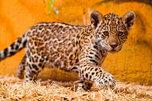В зоопарк под Уссурийском могут привезти редкую кошку – ягуара