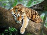 В честь Дня тигра в Уссурийске проходят тематические конкурсы