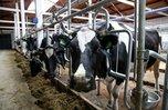 Венгерские коровы демонстрируют высокие надои в Уссурийске