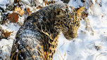 Леопард напал на двухлетнего ребенка в зоопарке под Уссурийском