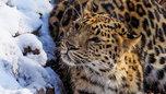В уссурийском зоопарке, где леопард ранил ребенка, нашли нарушения