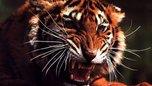 Роковая ошибка: тигрица напала на приморского эксперта по диким животным