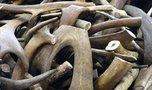 В Уссурийске задержана крупная партия лома рогов лося и оленя без документов