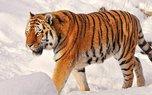 Приморские тигры утащили двух собак у пограничников