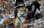 Администрация Приморья обратилась в Московский зоопарк с предложением оставить тигра Амура в краевом сафари-парке