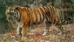 Умер старейший в Приморье тигр Тихон, утащивший собак у пограничников
