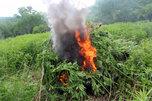Сотрудники полиции Уссурийска уничтожили дикорастущую коноплю на площади свыше 8 гектаров