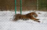 Незаконную охоту на тигра пресекли в Приморье