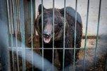 Судьбу спасенных медведей будут решать жители Уссурийска