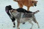 Стая собак накинулась на жительницу Приморья и покусала ребенка