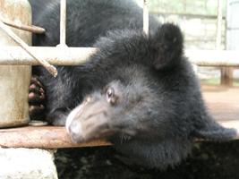 Гималайские медведи, опекаемые супругами Лещенко, остались зимовать в Дубовом Ключе
