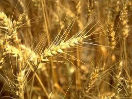 Урожай в Приморье собран с 95% посевной площади