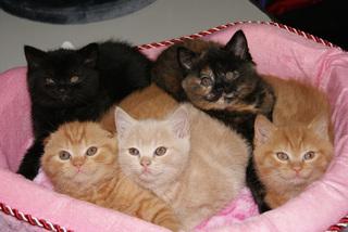 Элитные кошки боролись за награды и титулы в Уссурийске