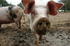 Китайскими сливами кормят свиней в Уссурийске