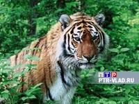 Амурских  тигров Уссурийского  заповедника ждут новые радиоошейники.  Видеорепортаж Елены Щедриной