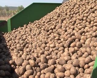 250 тонн картофеля высадят в хозяйстве «Пуциловское»