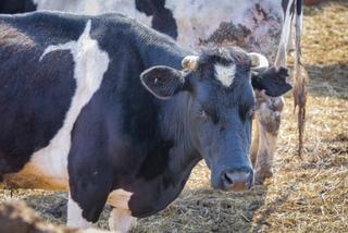 Крупную партию коровьих шкур арестовали в Уссурийске