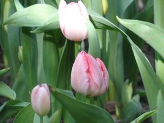 Тюльпаны распустятся на клумбах в Уссурийске ко Дню Победы