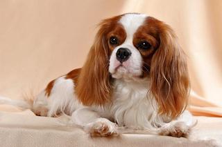 Собаку породы  спаниель похитили в одной из квартир Уссурийска