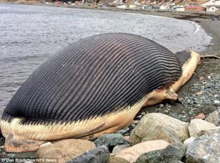 Взрывоопасный кит пугает жителей канадского городка