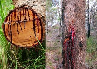 Дерево, «истекающее кровью»