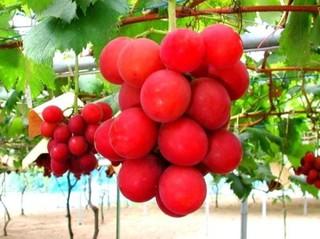 Виноград сорта «Рубиновый римский» – 4 000 долларов