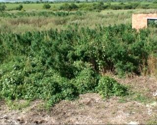 Крупную плантацию конопли уничтожили в Ханкайском районе