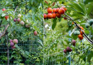 В США вырастили дерево, которое дает целый год 40 разных плодов
