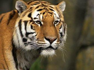 Кости амурского тигра нашли в квартире жителя Уссурийска