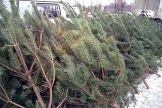 Последнюю партию елок и пихт привезли на новогодние базары Уссурийска
