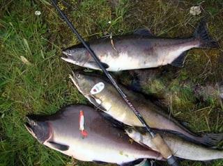 Приморские рыбаки-любители смогут ловить симу и горбушу до 31 июля