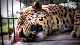 Фермерам предлагают застраховаться от леопарда в Уссурийском городском округе
