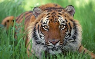 Раненого тигра прооперировали в Уссурийске
