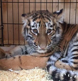 Уссурийск стал домом для ручного тигренка