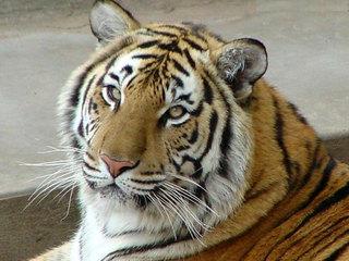 Состоялась международная конференция по проблемам сохранения амурского тигра