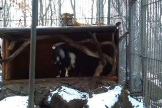В приморском Сафари-парке тигр живёт вместе с козлом