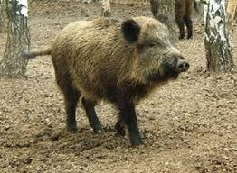 В Уссурийске подозревают два новых случая классической чумы свиней