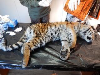 Второй тигренок, найденный у