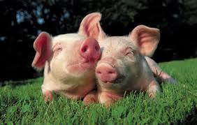 Уссурийская ферма пускала в оборот свинину неподтвержденной безопасности