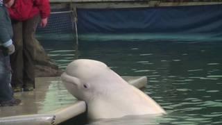 Посмертную ветеринарную экспертизу уникального кита из океанариума на о.Русском проведут в Уссурийской сельскохозяйственной академии