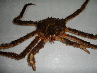 В Свободном порту Владивосток будут выращивать дальневосточную лягушку и редкие виды краба