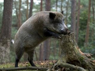 Новые правила охоты на кабана и оленя утвердили в Приморье
