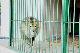 Уссурийцы поздравили льва Грея с 11-летием