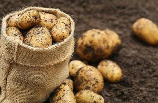 Аграрии Приморья убрали почти 230 гектаров картофеля