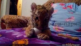 Спасенного тигренка в сафари-парке Приморья назвали Шерханом