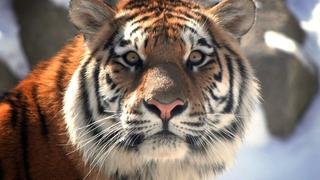 В Уссурийске в автомобиле нашли кости амурского тигра