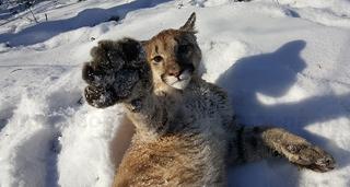 Экзотические кошки поселились в приморском сафари-парке