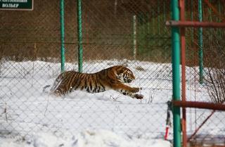Конфликтного тигра намерены изъять из дикой природы в Приморье